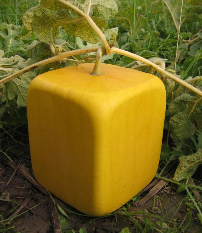 """Dưa Hấu Vvuông được trồng bằng giống lai F1, vỏ có màu vàng tự nhiên rất đẹp, có khắc chữ """"Phúc"""" &""""Lộc"""" đem đến một năm mới nhiều May Mắn, Tài Lộc và Hạnh Phúc cho Gia chủ. Giá chỉ 1,200K"""
